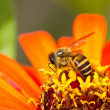 Orange flower and busy honey bee — Stock Photo