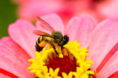 Pink flower and bee — Stock Photo