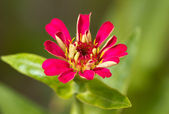 Small red flower — Stock Photo