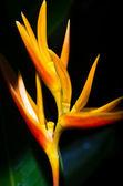Yellow heliconia — Stock Photo