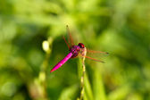 Pink Dragonfly Resting on Grass — Stock Photo