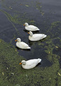 Holland, Volendam (Amsterdam), ducks in a water canal — Stock Photo