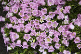 Holland, Amsterdam, Flowers Market, Bell-flowers (Campanula) — Stock Photo
