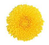Krysantemum — Stockfoto