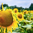Beautiful sunflowers in the field — Stock Photo
