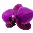 Orchid phalaenopsis (Orchidaceae) - seitlich — Stock Photo #6823100
