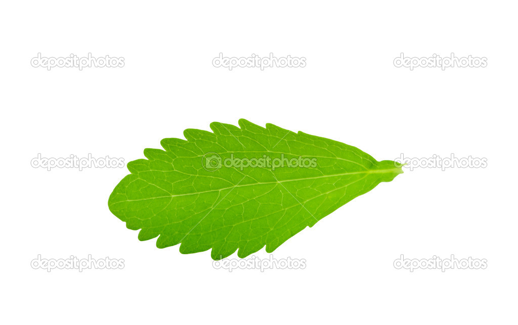 a leaf of stevia rebaudiana isolated on white background. Black Bedroom Furniture Sets. Home Design Ideas