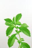 Stevia rebaudiana — Stock Photo