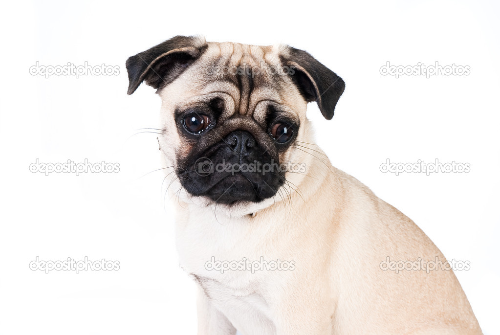 Pug dog isolated on white background — Stock Photo #7297024