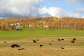 Fazenda de gado no alasca em queda — Foto Stock