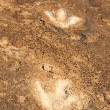 Stock Photo: Dinosaur Tracks on Potash Highway, Moab