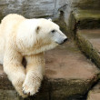 Polar bear — Stock Photo #6963454