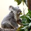 Koala on a tree — Stock Photo #6993847