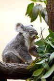Koala na drzewo — Zdjęcie stockowe