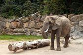 大象 — 图库照片