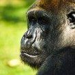 Stock Photo: Mountain gorillas portrait