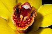 Cymbidium orchidee gelb 2 — Stockfoto