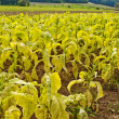 Tobacco field — Stock Photo #6919535