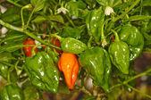 Chili Naga Jolokia — Stock Photo