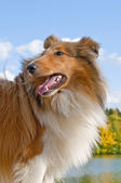 Collie — Stock Photo