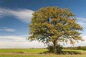 Oak in autumn — Stock Photo