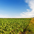 Stock Photo: Field with green manure