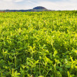 Field with green manure — Stock Photo