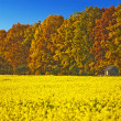 Stock Photo: Field of mustard with autumnal painted forest
