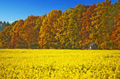 Field of mustard with autumnal painted forest — Stock Photo