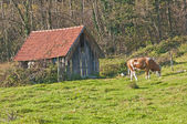 Cow with old barn — Stock Photo