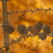 Stock Photo: Larch in autumnal color