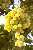 Hanging grapes ripened grapes — Stockfoto