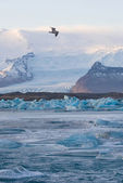 The gull is flying over Jokulsarlon Glacier Lagoon — Stock Photo