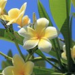 Stock Photo: Frangipani flowers