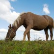 Horse grazes - Stock Photo