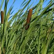 Reed close up - Stock Photo