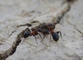 Hormigas cerca de un botín — Foto de Stock
