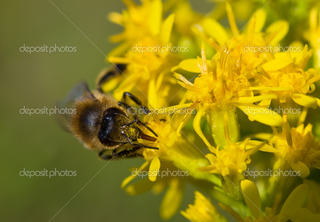 Bee collects nectar from a flower — Stock Photo #7501044