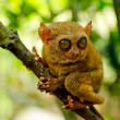 Tarsier — Stock Photo #7143531