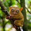 Tarsier — Stock Photo #7148219