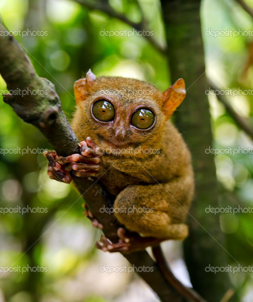 Tarsier on the tree. Bohol island, Philippines. — Stock Photo #7148219