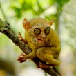 Tarsier — Stock Photo #7187906