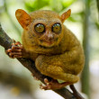 Tarsier — Stock Photo #7264359