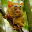 Tarsier — Stock Photo #7626116