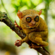 Tarsier — Stock Photo #7799537