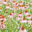 Echinacea - Stock Photo