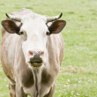 Beige cow on green field — Foto Stock