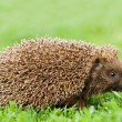 Hedgehog — Stock Photo #7158278