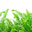 Fern — Stock Photo #7158472