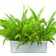 Fern — Stock Photo #7159550